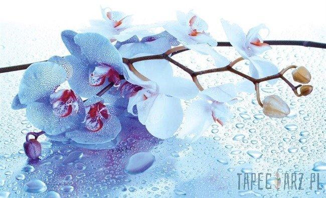 Fototapeta Niebieska orchidea 872