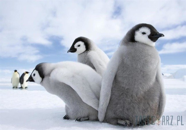 Fototapeta Pingwiny 2727