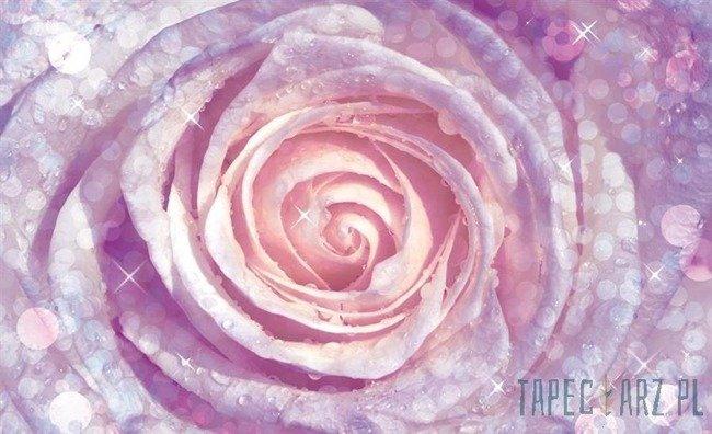 Fototapeta Róża 2157