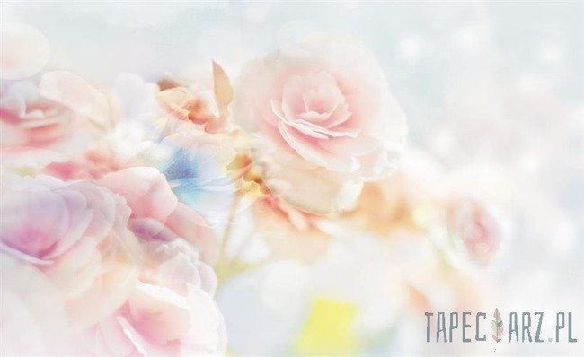 Fototapeta Róża 2701