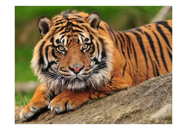 Fototapeta - Tygrys sumatrzański
