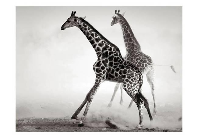 Fototapeta - Żyrafy