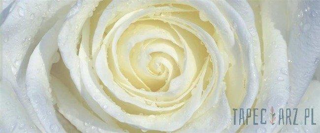 Fototapeta na flizelinie Biała róża 663VEP