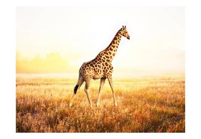 Fototapeta - żyrafa - spacer