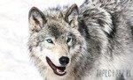 Fototapeta Śnieżny wilk 2940