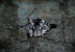Fototapeta Tygrys zza cementowej ściany 2772